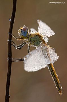 Morning dew on a dragonfly - she looks like a fairy....