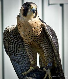 Peregrin Falcon in Delta BC #BirdsofPrey #BirdofPrey #Bird of Prey #LIFECommunity