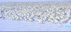"""Snow Geese Blend"" Image: Scottys Photography"