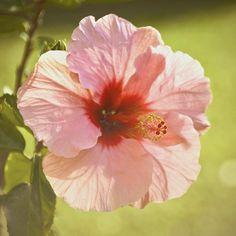 Hawaii 5-Oh Photograph  - Hawaii 5-Oh Fine Art Print flower hibiscus