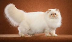 Everything you want to know about Himalayans, including grooming, training, health problems, history, adoption, finding a good breeder, and more.