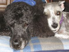 Max and Bodhi...Max was the best schnauzer and loved to dance.  He was AWESOME.  RIP my little loyal angel.