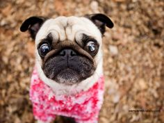 Curious pug in pink