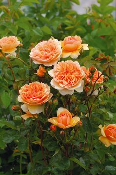 One of David Austin's Top 10 Most Fragrant English Roses: 'Port Sunlight' has a bold contemporary, rich apricot coloring that provides a charming contrast to its classic, rich, pure tea fragrance. (English Rose 'Port Sunlight' – Repeat-flowering, slightly quartered rosettes in rich apricot color, bronzy red stems and leaves in early season, darkening later to deep green, USDA zones 5-9).