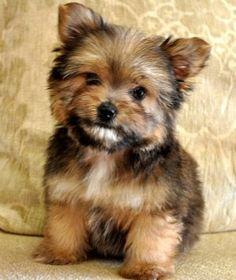 """Oh my gosh....how adorable! """"Porkie"""" (Pomeranian and a Yorkie)."""