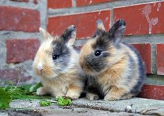 Calico Bunny Rabbits!/ all calico cats are female. I wonder if the same is true of rabbits @Allison Martin