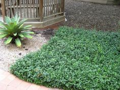"""Asiatic jasmine   zone 7-10  Light: Full sun Part sun  Shade Growth rate: Moderate  Mature height: 6-24""""  Spacing: 4-8""""  Tolerant of: Drought, Foot Traffic, Poor Soil, Rabbits, Salt pH of Soil: 5.0 - 8.0, Ideal pH: 5.5 - 7.5 Grows Under Trees: Pine - Yes,  Other - Yes  Good for erosion control: Yes  Evergreen : Yes  Good for slopes: Yes  Vine: Yes  Weed suppressor (once established): Yes"""