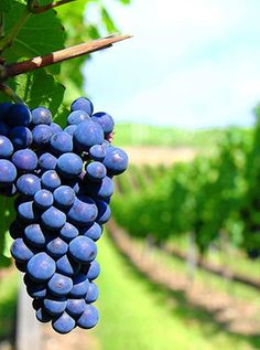 Ever thought about the wine being so healthy like any other herb? Here you find the Red Wine Benefits, also healthy cocktails, dishes with red wine. Pinot Noir, Red Wine Benefits, Wine News, Organic Wine, Italy Food, Growing Grapes, Wine Delivery, Wine Drinks, Wine Tasting