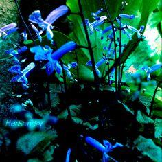 Flores Azuis do Meu Jardim. @HerSander @FlorDeMato #FLORDEMATO