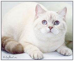 British shorthair cat, chocolate silver links point