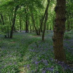 Bluebells in an Ancient Wood in Spring Time in the Essex Countryside, England, United Kingdom Premium Photographic Poster Print by Jeremy Bright, 24x24 $59.99