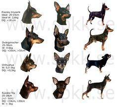 """Fantastic """"miniature pinscher puppies"""" info is offered on our web pages. Read more and you will not be sorry you did. Mini Pinscher, Miniature Pinscher, Chihuahua Dogs, Chihuahuas, Pet Dogs, Dog Cat, Puppies, Pets, Mini Doberman"""