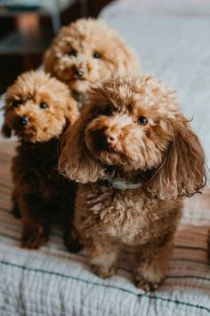 Whether you're looking for a family pet or a competitive dog show contender, there are some important factors to consider when choosing the right poodle puppy. Here's your guide.#poodlepuppy #poodlepuppytraining #poodlepuppies #cutepoodlepuppies #dogsandpuppiespoodle #dogsandpuppies #cutedogs Poodle Mix Puppies, Dogs And Puppies, Dog Show, Cute Dogs, Teddy Bear, Fur, Pets, Factors, Animals