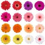 Gerbera Blooms are a loose flower bloom, arriving with the stem already removed for your convenience! Float Gerbera Daisy Blooms in a fountain, pool, or in vase Gerbera Daisy Colors, Gerbera Daisy Wedding, Gerbera Flower, Flower Colors, Flower Bouquets, Colours, Bright Colors, Happy Flowers, All Flowers