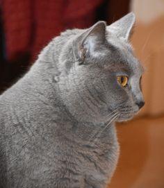 Minouche, chat des Chartreux