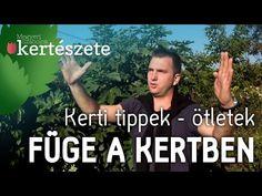 A friss füge finom, édes csemege. Már évek óta Magyarországon is sikeresen termeszthető védettebb, naposabb helyen. Gardening, Plant, Lawn And Garden, Horticulture