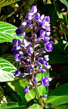Dichorisandra thyrsiflora 2 - Commelinagewächse – Wikipedia