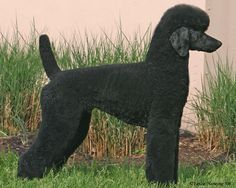 I love this trim on this http://www.highfalutinpoodles.com/available.html#