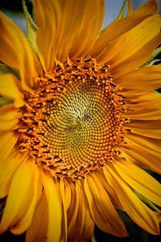 Neu in meiner Galerie bei OhMyPrints: Sonnenblume