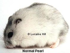 Pearl Dwarf Winter White Russian Hamster - click on image to find information about this hamster.