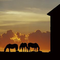 Horses grazing as the sun sets.