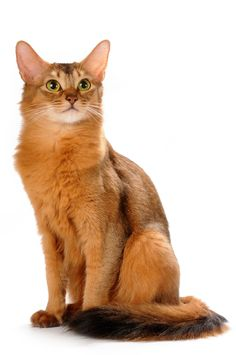 Somali—a breathtakingly beautiful cat, with a vibrantly colorful coat, full plume tail, and alert personality. This playful cat adores being the center of attention and will do anything to achieve and maintain that status. They have everything most people want in a companion animal.