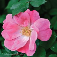 """Pink Knock Out® Rose blooms from spring to frost. The single blooms are much like those of a wild rose, but """"bubblegum pink. Backyard Ideas For Small Yards, Backyard Designs, Flower Bed Designs, Rose Garden Design, Types Of Roses, Flowers For You, Blooming Rose, Bubblegum Pink, Back Gardens"""
