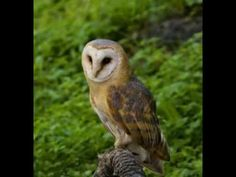 Calls of diurnal and nocturnal birds of prey