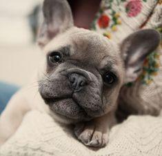 French Bulldog Puppy #buldog #bulldogpuppy