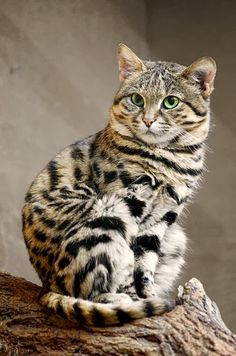 The black-footed cat is the smalLooks very bengal-like to me!lest African cat, and is endemic in the south west arid zone of the southern African subregion. It is one of the lesser studied African carnivores, and is listed as Vulnerable by IUCN since 2002.