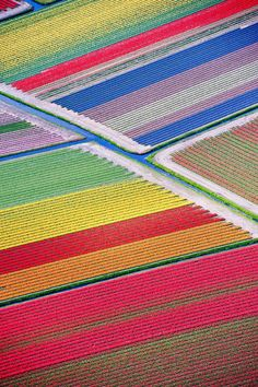 The tulip fields that cover large swaths of the Netherlands.