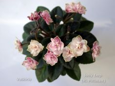 ! Jolly Imp (H. Pittman) Perennial Flowering Plants, Herbaceous Perennials, Saintpaulia, All Things New, Live Plants, Pink And Green, Blue, African Violet, Houseplants
