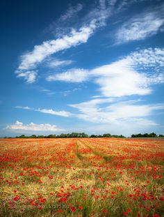 Poppies by vincentfavre #nature #travel #traveling #vacation #visiting #trip #holiday #tourism #tourist #photooftheday #amazing #picoftheday