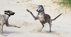 Greyhounds at the beach - what joy!