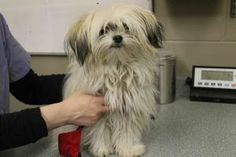 TOPSY TURVY is an adoptable Maltese Dog in Saskatoon, SK. Topsy Turvy is a 8 month old cream and white Maltese mix that arrived at the shelter on April 16, 2013, and is currently available for adoptio...