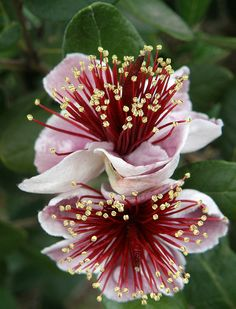Pineapple Guava Flowers