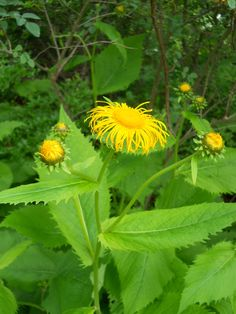 Irritating cough of bronchitis and tuberculosis. Summer Plants, Natural Life, Perennials, Herbs, Textile Dyeing, Garden, Nature, Flowers, Pictures