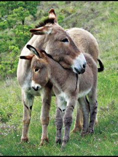 Mother donkeys and foals share a strong bond.