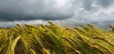 Feld mit Gerste: Immer mehr Menschen klagen über Getreideunverträglichkeiten #Gluten #Zöliakie