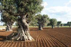 Olive trees near Ostuni, Puglia