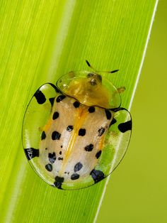 Tortoise Beetle | Flickr - Photo Sharing!