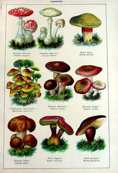 1907 antique poisonous mushrooms lithograph, original vintage color fungus engraving, different species of mushrooms plate illustration.