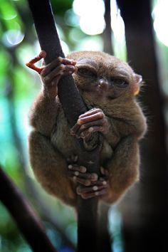 sleepy yoda like tarsier
