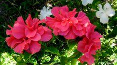 Hibiscus dobrado