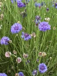 Bachelor's button = anticipation; single blessedness Bachelor Button Flowers, Bachelor Buttons, Flower Meanings, Flower Power, Meant To Be, Herbs, Backyard, Plants, Color