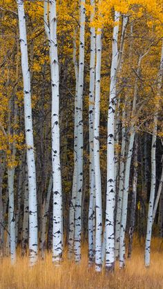 ***Fall Aspen (Bragg Creek, Alberta) by Chris Greenwood / 500px c.af.