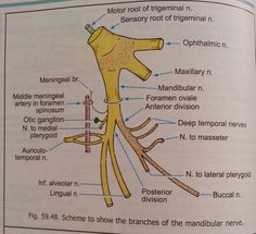Mandibular nerve Nursing School Notes, Ob Nursing, Nursing Schools, Arteries Anatomy, Nerve Anatomy, Dental Images, Ultrasound Technician, Anatomy Bones, Anatomy Images