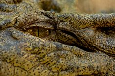 I have eyes only for you Saltwater Crocodile Saltwater Crocodile, My Photos, Photography, Photograph, Photography Business, Photoshoot, Fotografie, Fotografia