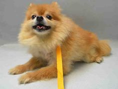 SAFE 4-15-2016 by  Anarchy Animal Rescue --- SUPER URGENT Brooklyn Center PRINCE – A1070259  MALE, GOLD, POMERANIAN MIX, 9 yrs OWNER SUR – EVALUATE, HOLD RELEASED Reason PET HEALTH Intake condition EXAM REQ Intake Date 04/13/2016