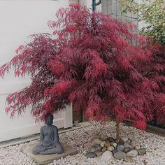 Arce japonés 'Dissectum garnet' - All For Garden Small Japanese Garden, Japanese Garden Design, Japanese Gardens, Pruning Japanese Maples, Zen Garden Design, Japan Garden, Acer Palmatum, Bonsai Garden, Shade Garden